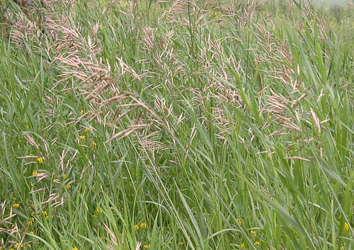 Perennial Brome Grasses : Agroatlas crops bromopsis inermis leyss holub hungarian brome or awnless