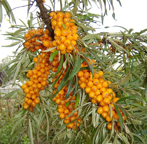Permaculture plants sea buckthorn seabuckthorn insider - Growing sea buckthorn ...