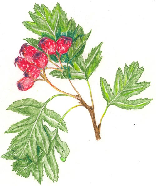 hawthorn tree branch. Large shrub or small tree,