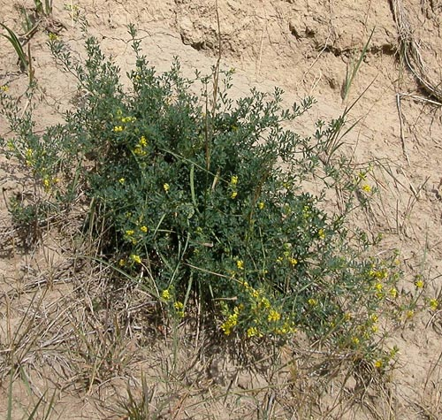 Agroatlas Relatives Medicago Falcata L Yellow Flower Alfalfa